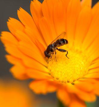 Calendula con propoleo y miel